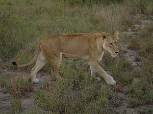 Lion in South Africa.jpg