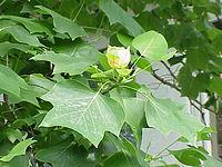 Liriodendron tulipifera4