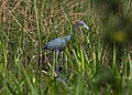 Little blue heron tree tops park (14104852067).jpg