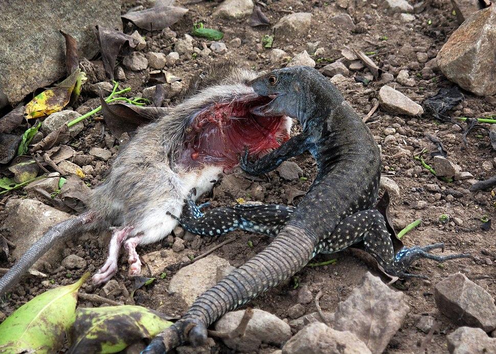Lizard prey