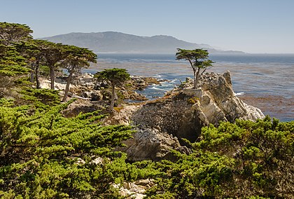 Lone Cypress.
