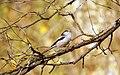 Long-tailed tit - (Aegithalos caudatus)- Дългоопашат синигер.jpg