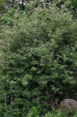 Lonicera-xylosteum-total.JPG