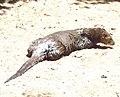 Lontra longicaudis.jpg
