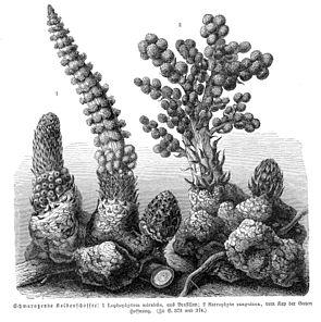 Zwei Arten aus dieser Familie: Links Lophophytum mirabile, rechts Sarcophyte sanguinea