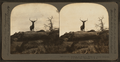 Lordly monarch of western wilds, an actual snapshot of a wild elk, Montana, U.S.A, by Keystone View Company.png