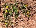 Lotus corniculatus in Aveyron (6).jpg