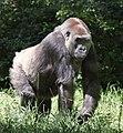 Lowland Gorilla (8973697544).jpg