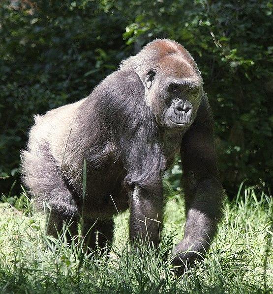 File:Lowland Gorilla (8973697544).jpg
