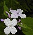 Lunaria rediviva 2015-06-01 OB 122b.jpg