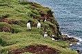 Lunga Treshnish Isles Alca torda 2.jpg