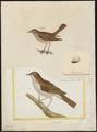 Luscinia vera - 1700-1880 - Print - Iconographia Zoologica - Special Collections University of Amsterdam - UBA01 IZ16200222.tif