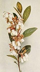 Lyonia mariana WFNY-155B.jpg