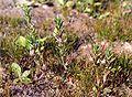 LythrumHyssopifolia.jpg