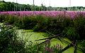 Lythrum salicaria, purple loosestrife, Boxborough, Massachusetts 1.jpg