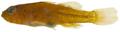 Lythrypnus elasson - pone.0010676.g173.png