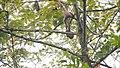 Müller's Bornean Gibbon (14839986737).jpg