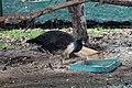 Ma - Female Pavo cristatus - 1.jpg