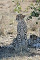 Maasai Mara Cheetah 3.jpg