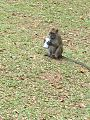 Macaque with soda can.jpg