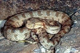 гюрза фото змея