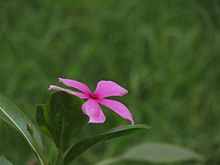Madagascar Periwinkle - Single - Jammu.JPG