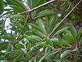 Madhuca longifolia var. longifolia (6941672166).jpg