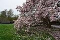 Magnolia de la rue de la Croix-Rouge (2).jpg