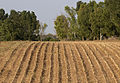 Maize stubs 03.jpg