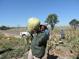 Citrullus lanatus - Makataan grown alongside maize in South Africa