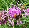Male Bombus lapidarius - Flickr - gailhampshire.jpg