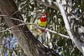 Male Eastern Rosella in a Gum Tree at Lake Albert.jpg