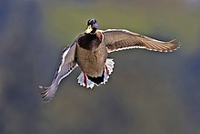 Photograph of a duck in flight