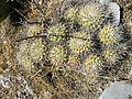 Mammillaria compressa (5761450609).jpg