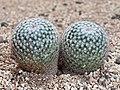 Mammillaria leucocentra-20201220-RM-220153.jpg