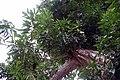 Mangifera indica Mulgoba 1zz.jpg