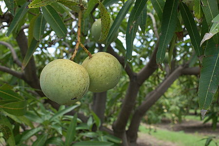 Mangifera indica var. José.JPG