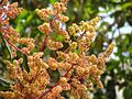 Mangoflowers2.jpg
