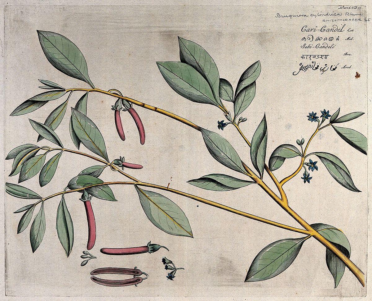 Bruguiera cylindrica - Wikipedia