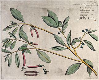 <i>Bruguiera cylindrica</i>
