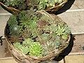 Many Sempervivum species share this basket.jpg