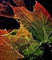 Maple Leaves Structure3-jurvetson.jpg