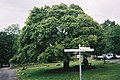 Maple tree - geograph.org.uk - 1514105.jpg