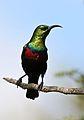 Marico sunbird, Cinnyris mariquensis, at Zaagkuildrift Road near Kgomo Kgomo, Limpopo, South Africa. Male (33470770602).jpg