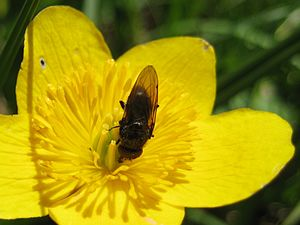 Caltha - hoverfly of the genus Cheilosia visiting C. palustris