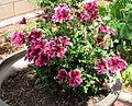 Martha Washington geranium.jpg