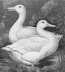 Mary Simmons of Hartwell's prize-winning Aylesbury ducks.jpg