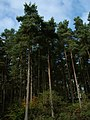Mature trees on Bucknell Hill - geograph.org.uk - 1231155.jpg