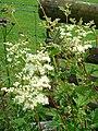 Meadowsweet (Filipendula ulmaria) - geograph.org.uk - 500088.jpg