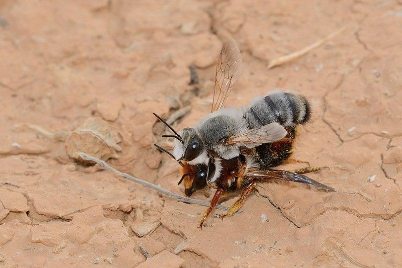 File:Megachile incerta copulation 1.jpg